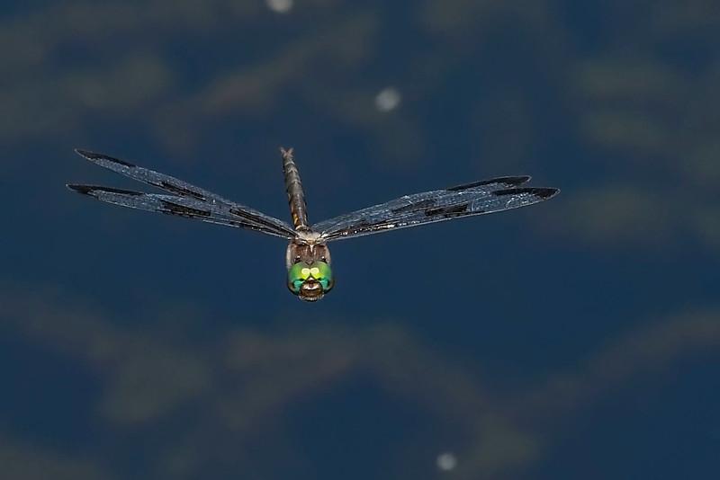 PrinceBaskettail(male)-MarshBendPark-3-27-20-SJS-003