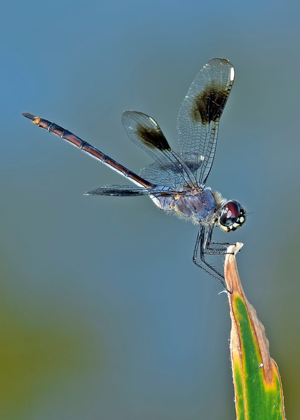 4-SpottedPennant(male)-LAWD-8-24-18-SJS-001