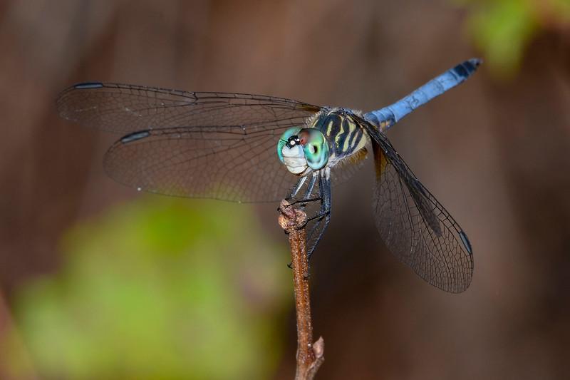 BlueDasher(male)-SawgrassIslandPreserve-9-13-19-SJS-002