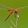 Banded-wingedMeadowhawk-2014-sjs-002