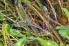 GreenDarners(mating)-OcalaWetland-10-1-20-sjs-04