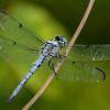 GreatBlueSkimmer(male)-OaklandNP-7-10-19-SJS-006
