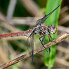 RoseateSkimmer(female)-OaklandNaturePreserve-6-14-19-SJS-007