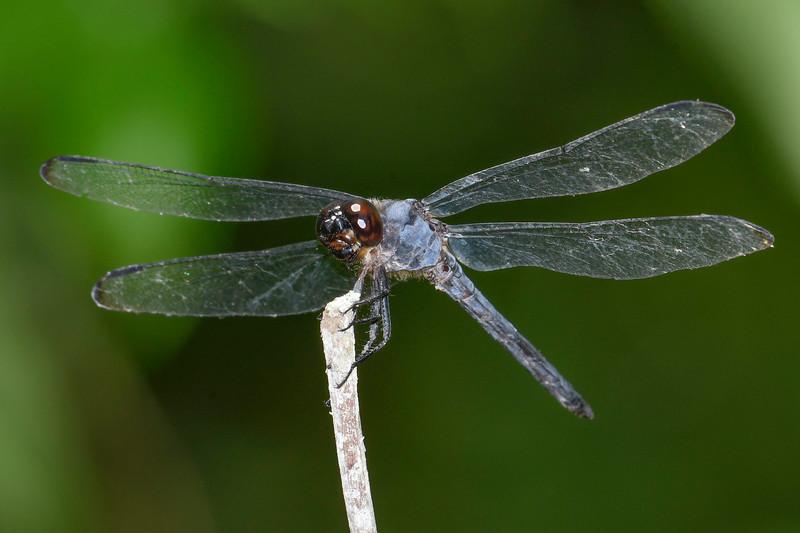 SlatySkimmer(male)-OaklandNP-8-7-19-SJS-001