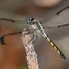 GreatBlueSkimmer(female)-SawgrassIsland-6-25-19-SJS-002