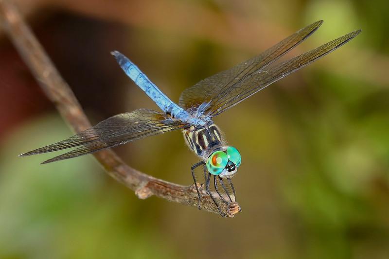 BlueDasher(male)-OaklandNaturePreserve-6-14-19-SJS-003