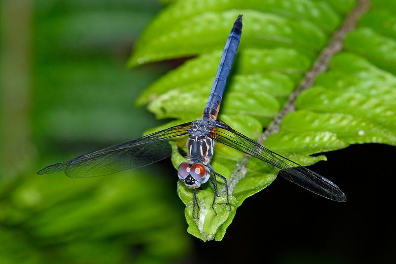 BlueDasher(male)-OaklandNP-7-10-19-SJS-002