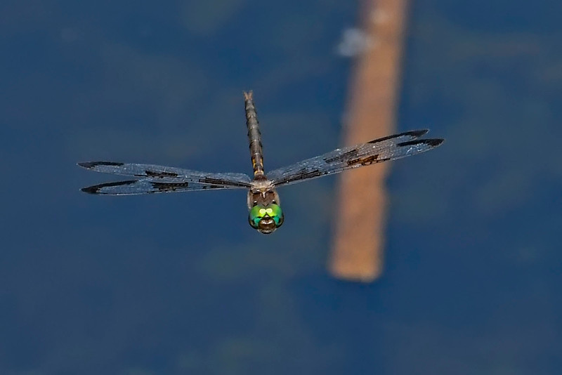 PrinceBaskettail(male)-MarshBendPark-3-27-20-SJS-002
