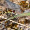 LittleBlueDragonlet(female)-OcalaNF-7-30-19-SJS-002