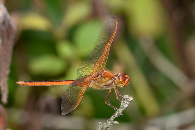 GoldenWingedSkipper(male)-OaklandNaturePreserve-6-14-19-SJS-002