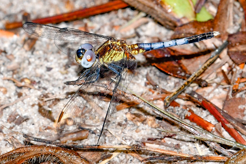 LittleBlueDragonlet(male)-SawgrassIsland-7-4-2019-SJS-002