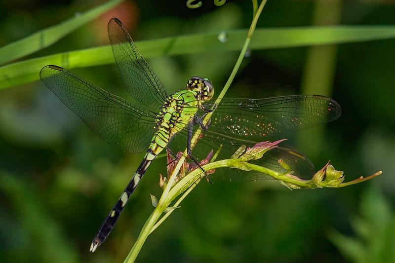 EasternPondHawk(female)-OaklandNP-7-10-19-SJS-001