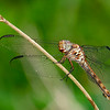 RoseateSkimmer(female)-OaklandNaturePreserve-6-14-19-SJS-015