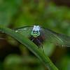 EasternPondHawk(male)-LAWD-6-21-19-SJS-003