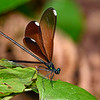 EbonyJewelwing(female)-OaklandNaturePreserve-6-21-19-SJS-003