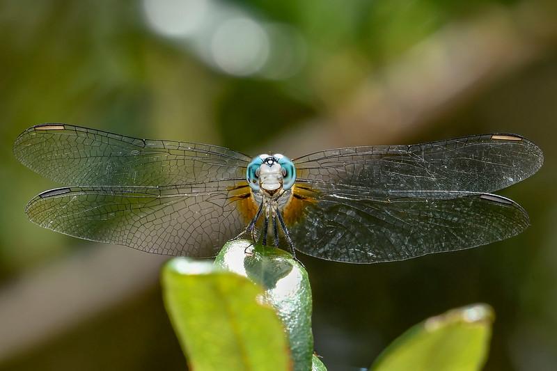 BlueDasher(male)-SawgrassIsland-6-10-19-SJS-003