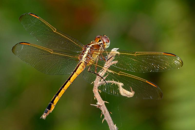 GoldenWingedSkipper(female)-OaklandNaturePreserve-6-14-19-SJS-007