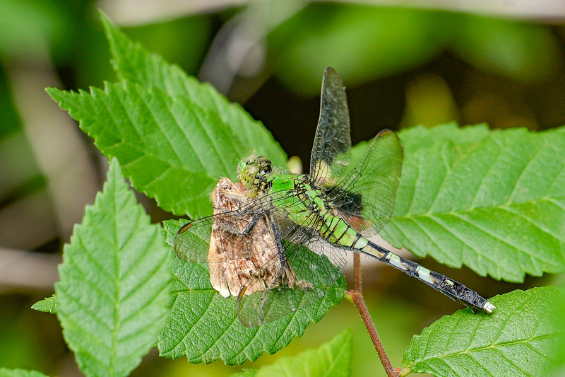 EasternPondHawk(female)-EmeraldaMarsh-4-25-20-SJS-001