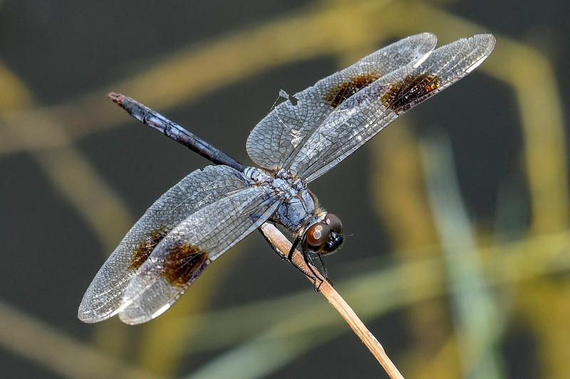 4-SpottedPennant(male)-LakeYaleEstates-7-5-2019-SJS-004