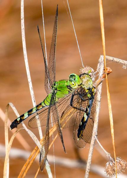 EasternPondHawk(female)-EmeraldaMarsh-4-14-20-SJS-005