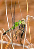 EasternPondHawk(female)-EmeraldaMarsh-4-14-20-SJS-005