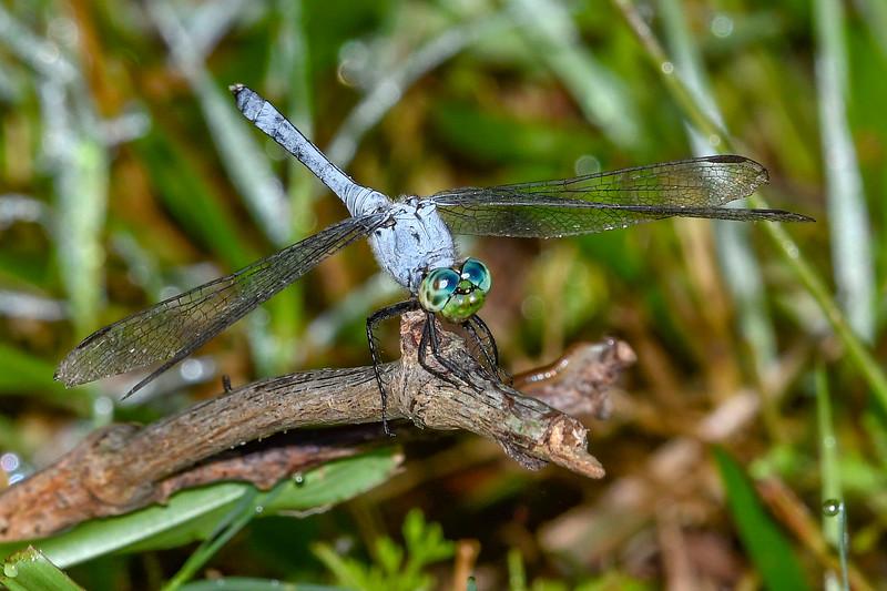 EasternPondHawk(male)-LAWD-6-21-19-SJS-006