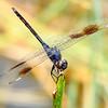 4-SpottedPennant(male)-LakeYaleEstates-7-5-2019-SJS-002