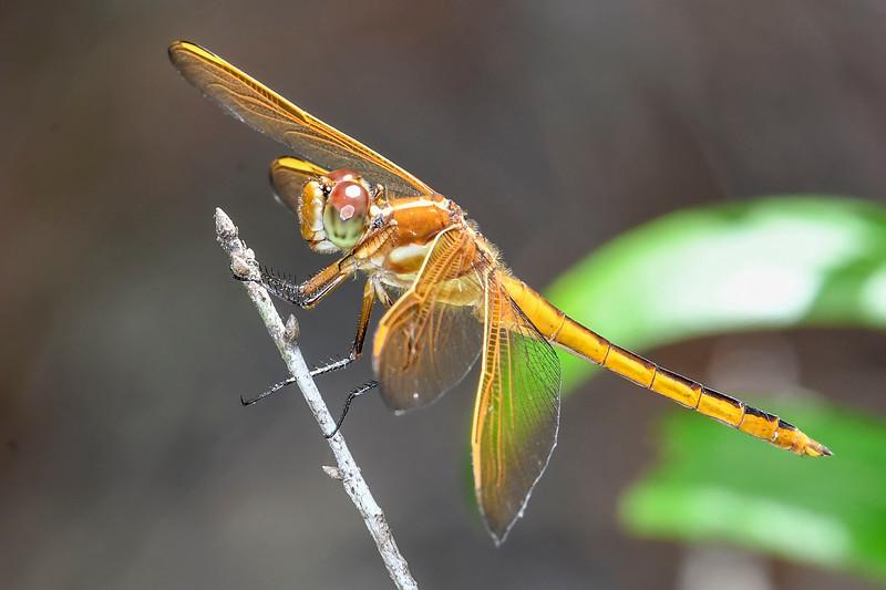 Golden-WingedSkimmer(female)-LakeMayReserve-5-2-19-SJS-004
