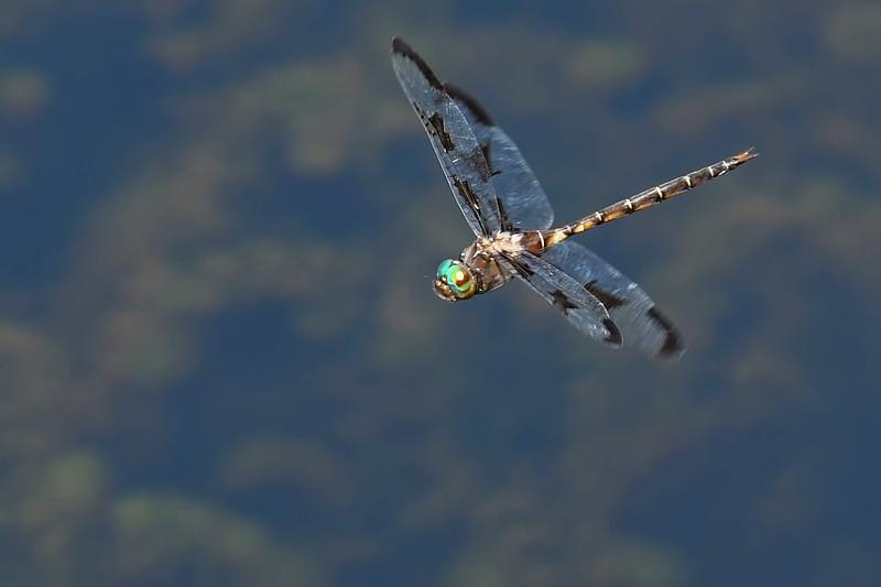 PrinceBaskettail(male)-MarshBendPark-3-27-20-SJS-011