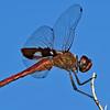 CardinalMeadowhawk-California-6-30-18-SJS-004