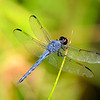 GreatBlueSkimmer-Male-2014-sjs-006