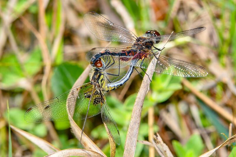 OrnatePennants(mating)-SawgrassIsland-3-23-20-SJS-001