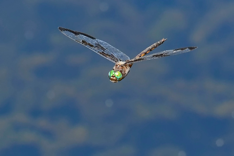 PrinceBaskettail(male)-MarshBendPark-3-27-20-SJS-010