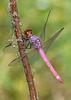RoseateSkimmer(male)-OaklandNP-9-16-19-SJS-004