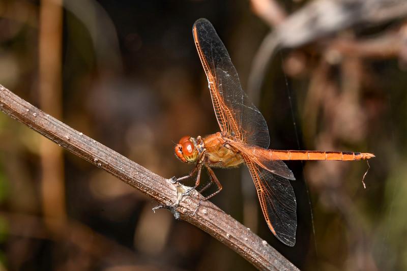 GoldenWingedSkipper(male)-OaklandNaturePreserve-6-14-19-SJS-001