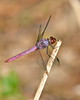 RoseateSkimmer(male)-OcalaWetland-10-1-20-sjs-08