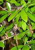 Green-GrayClubtail(mating)-SawgrassIsland-3-23-20-SJS-002