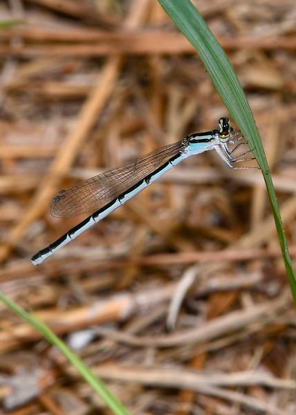 AtlanticBluet(female)-EmeraldaMarsh-4-14-20-SJS-001