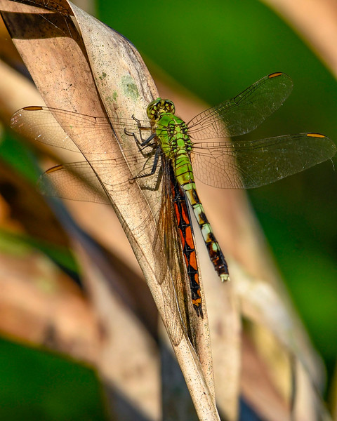 EasternPondHawk(female)-EmeraldaMarsh-4-4-20-SJS-001