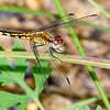 LittleBlueDragonlet(female)-OcalaNF-7-30-19-SJS-003