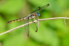 GreatBlueSkimmer(female)-EmeraldaMarsh-4-11-20-SJS-001