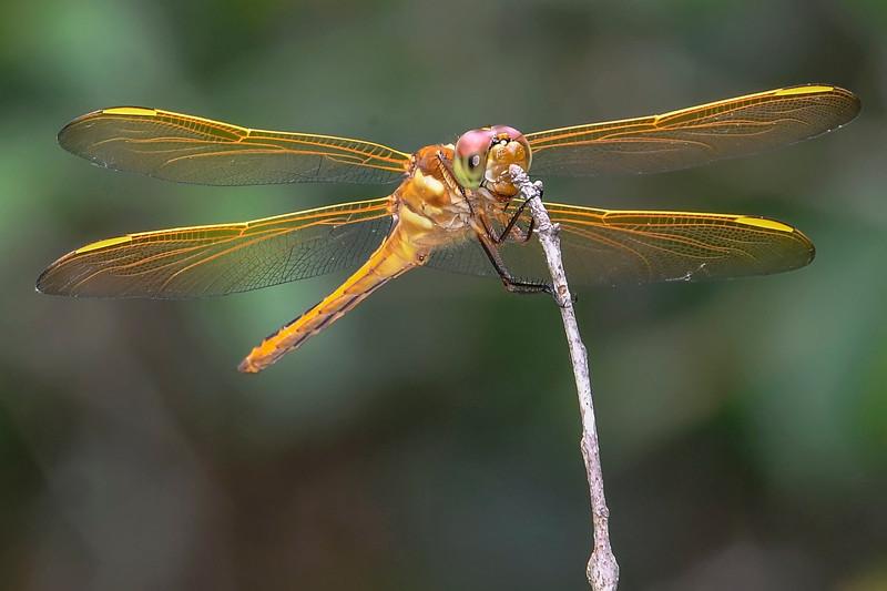 Golden-WingedSkimmer(female)-LakeMayReserve-5-2-19-SJS-003