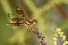 EasternAmberwing(female)-OaklandNP-9-16-19-SJS-002