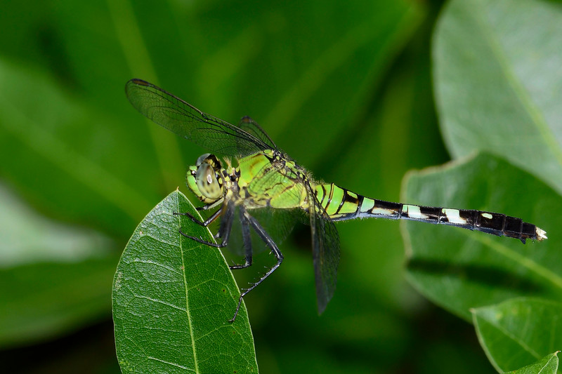 EasternPondHawk(female)-OaklandNaturePreserve-6-14-19-SJS-005
