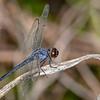 SlatySkimmer(male)-OaklandNP-7-10-19-SJS-001