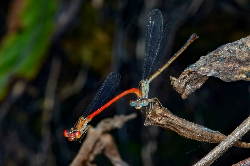 DuckweedFiretail(mating)-OaklandNaturePreserve-6-14-19-SJS-002