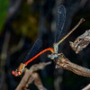DuckweedFiretail(mating)-OaklandNaturePreserve-6-14-19-SJS-002