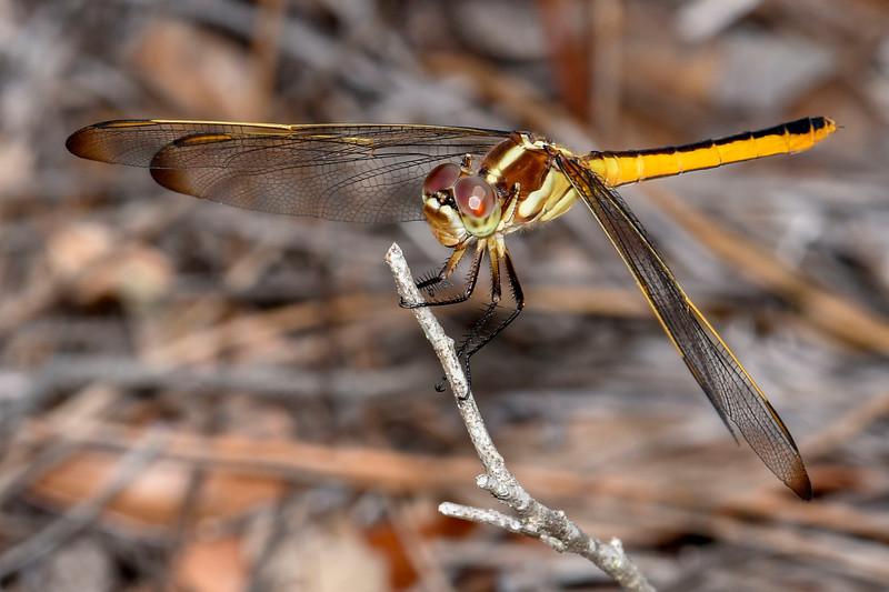 Golden-WingedSkimmer(female)SawgrassIsland-6-10-19-SJS-003
