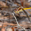 Golden-WingedSkimmer(female)SawgrassIsland-6-10-19-SJS-003