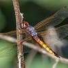 HyacinthGlider(male)-Circle-B-BarReserve-6-12-19-SJS-006